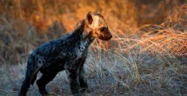 Spotted Hyenas in Uganda