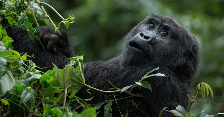 Uganda Gorilla trekking Review Guide