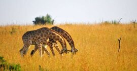 Which is the Best Place for Wildlife Safaris in Uganda