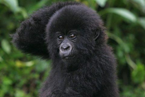 Best Gorilla Trekking Companies for Uganda, Rwanda & Congo