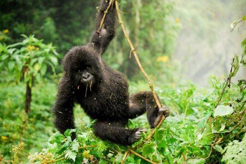 Rwanda Gorilla Trekking Review / Guide