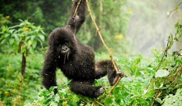 Rwanda Gorilla Trekking Review