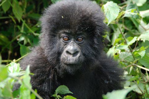 Uganda Gorilla trekking Review / Guide