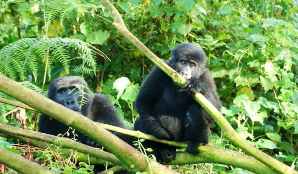 Best time to Trek Gorillas in Uganda