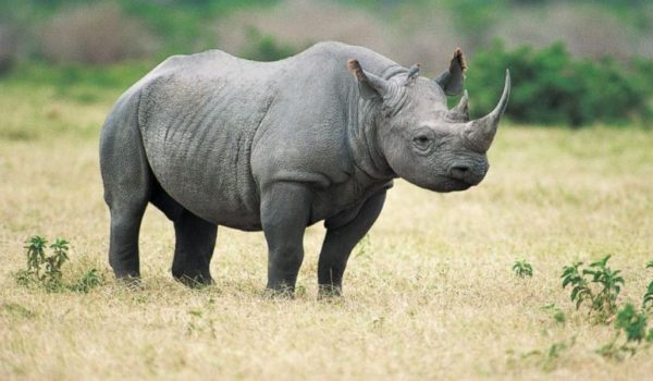 Rhinos Return to Rwanda's Akagera National Park after 10 Years