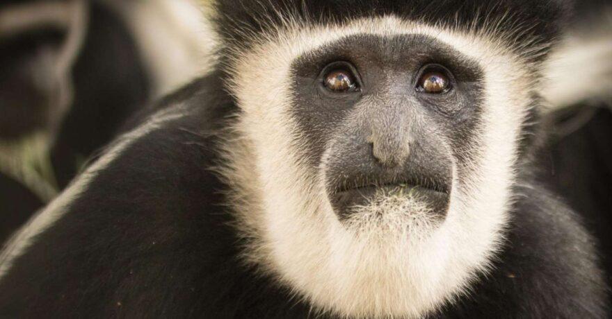 Black and White Colubus Monkeys in Uganda