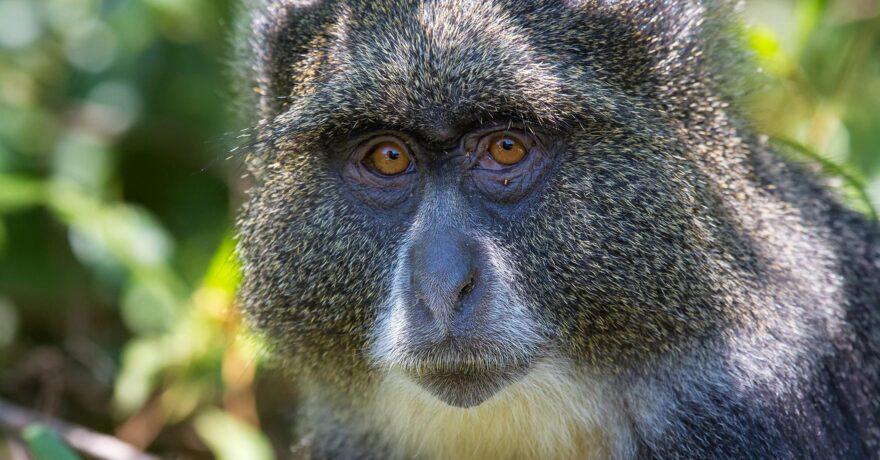 Blue Monkeys in Uganda