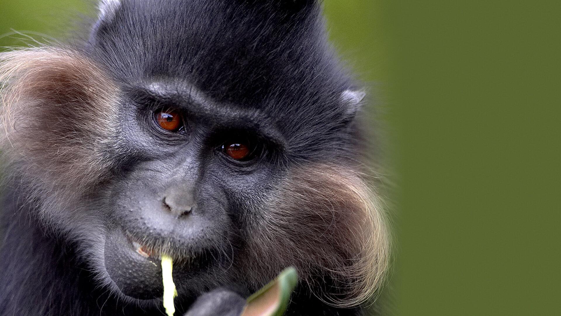 Grey Cheeked Mangabey in Uganda