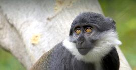 L'hoest Monkeys in Uganda
