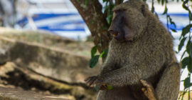 Olive Baboons in Uganda