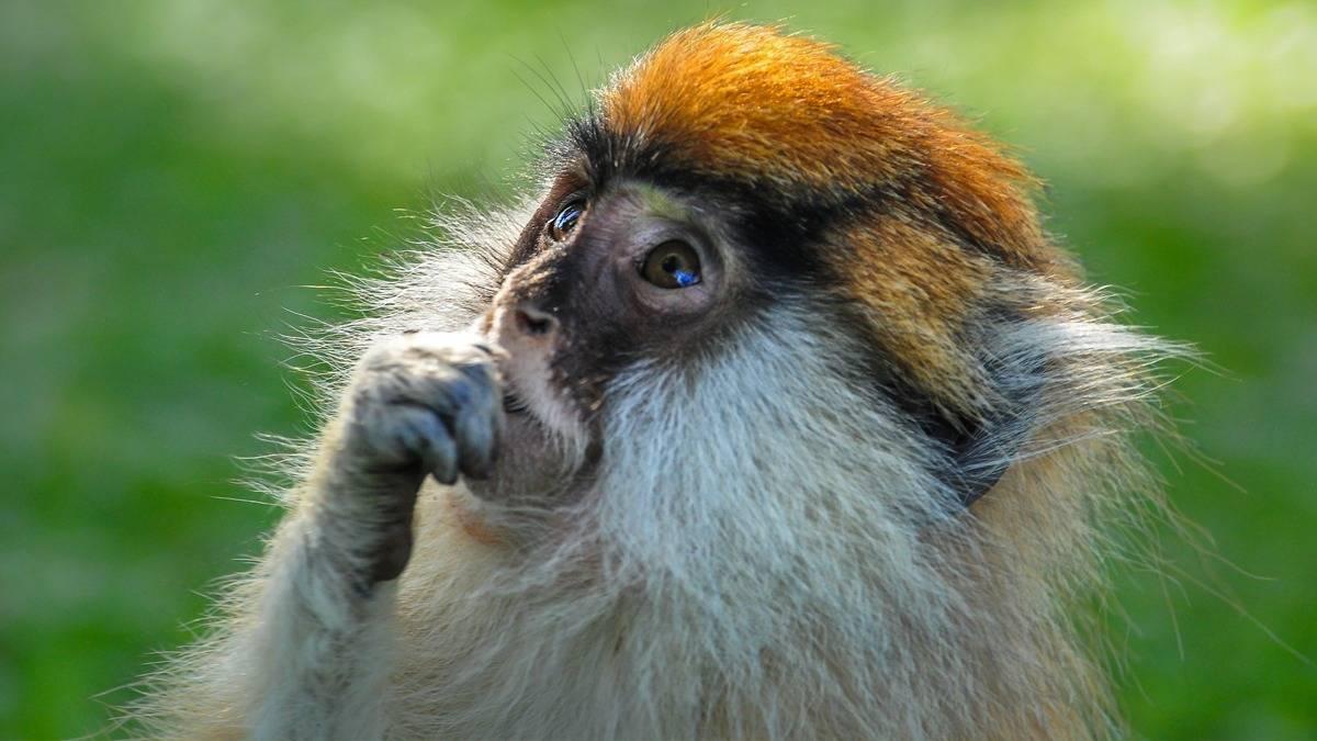 Patas Monkeys in Uganda
