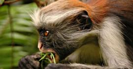 Red Colubus Monkeys in Uganda