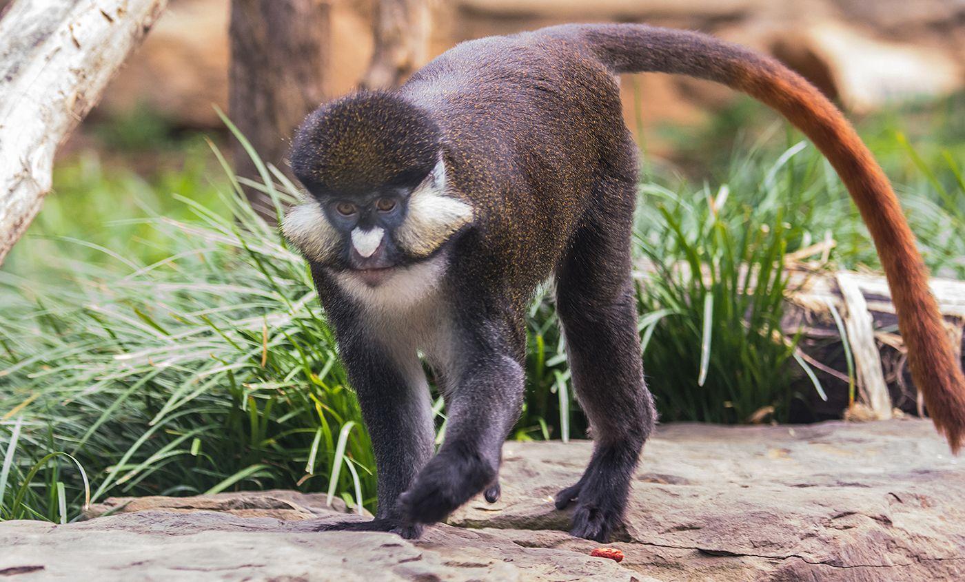 Red Tailed Monkeys in Uganda