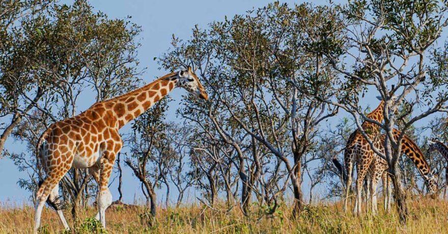 Rothschild Giraffes in Uganda