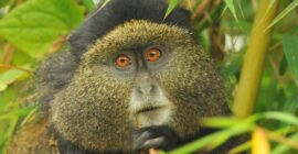 Tracking Golden Monkeys in Uganda