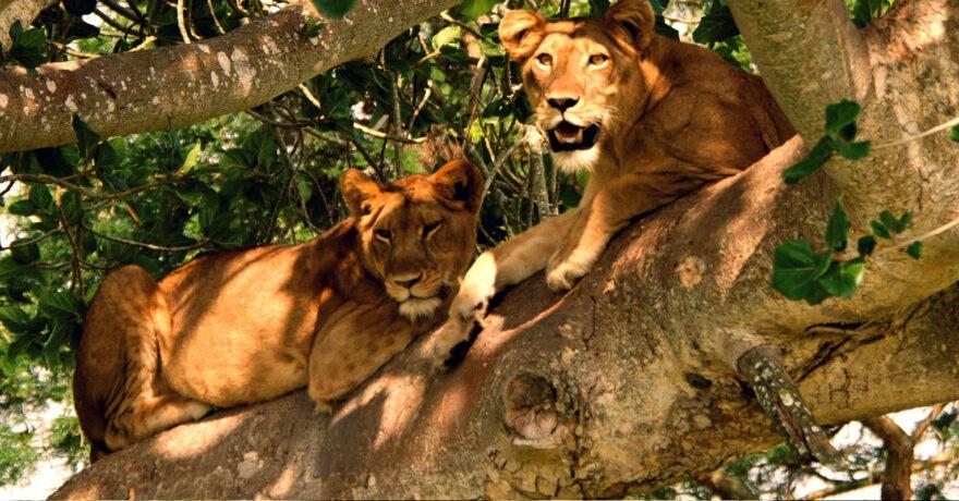 Tree Climbing Lions Ugandas Gem in Ishasha