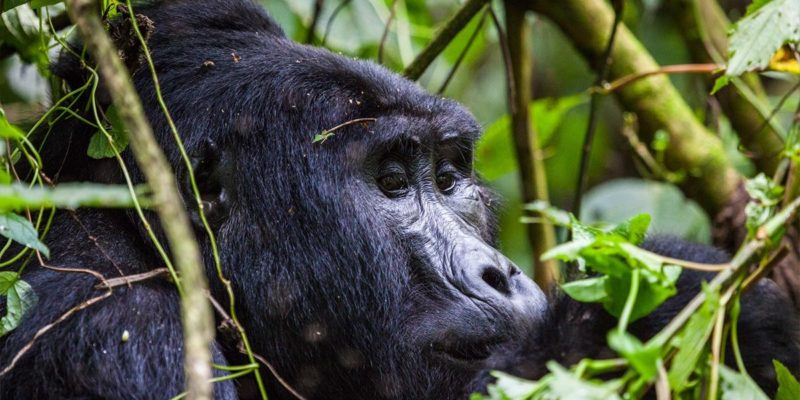 What is Gorilla Trekking