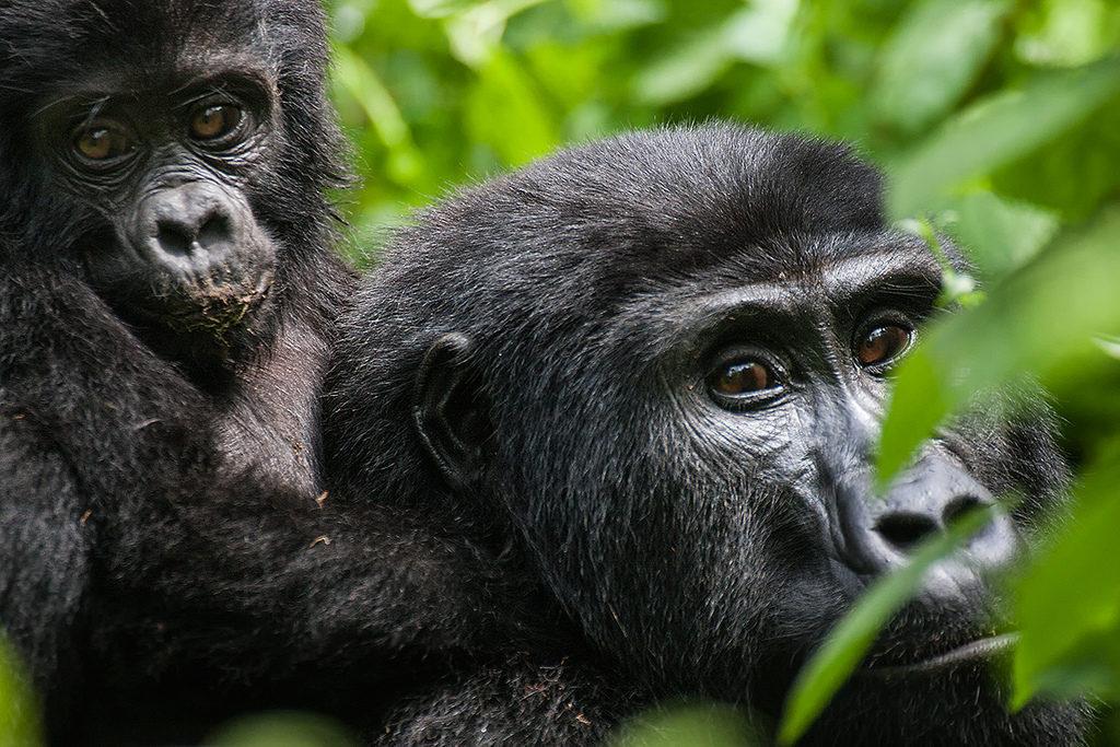gorilla trekking meaning