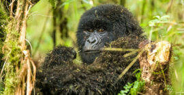 Booking Bwindi Gorilla Trekking Safaris from Entebbe Kampala