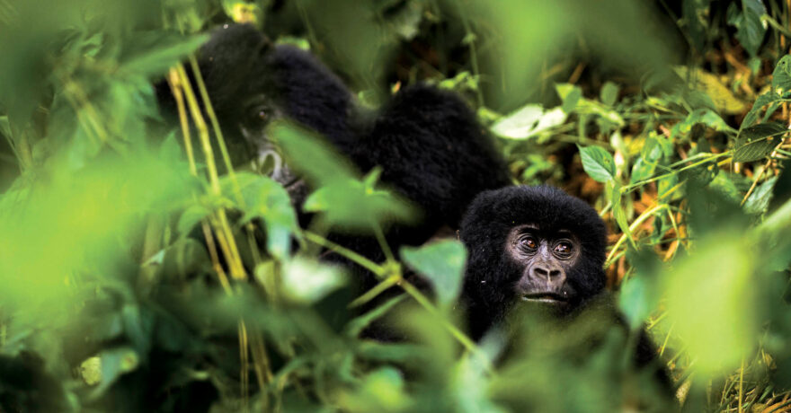How to Meet a Gorilla in Africa (Ultimate Guide)