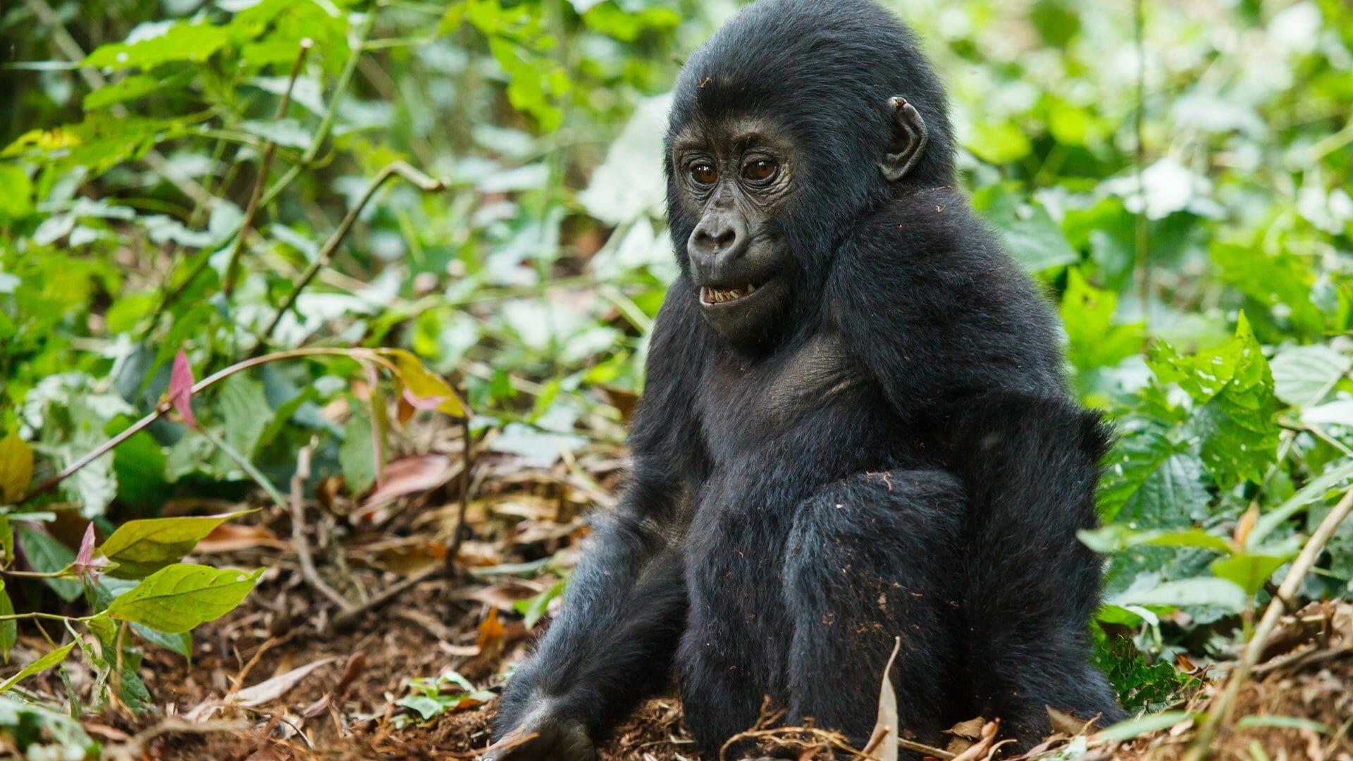 Uganda Apes & Primates
