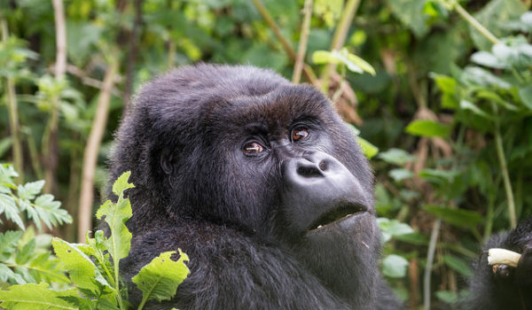 Bwindi Gorilla Trekking Safaris from Entebbe Kampala