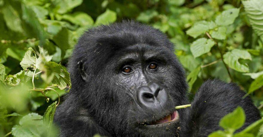 Check Uganda Gorilla Permits Availability Online