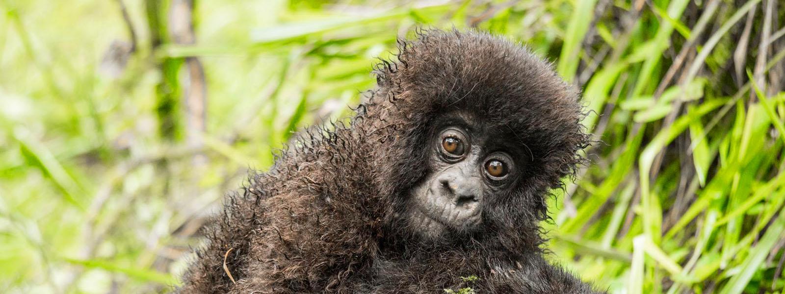 Gorilla Trekking in Uganda from Kigali Rwanda