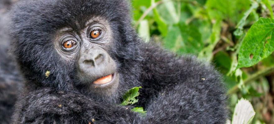 How Mountain Gorillas Behave