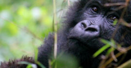 How do gorillas adapt to the environment