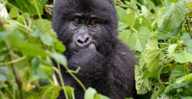 How to Check Availability of Rwanda Gorilla Permits & Book Online