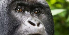Lifespan of Gorillas How long do Gorillas Live