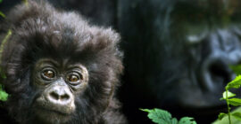 Best Place to see Mountain Gorillas in Africa