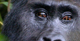 Why Mountain Gorillas Were Going Extinct
