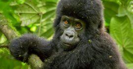 Uganda Gorilla Trekking Video (Watch Now)