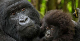 Minimum Age / Age Limit for Gorilla Tracking in Uganda & Rwanda