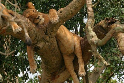 Tree Climbing Lions: Uganda's Gem in Ishasha