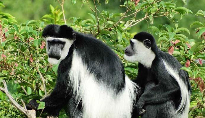 Colubus Monkey in Uganda