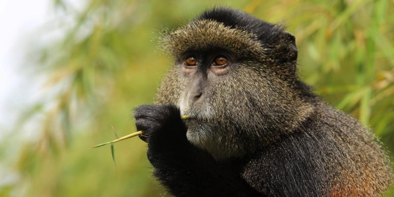 Ugandan golden monkey