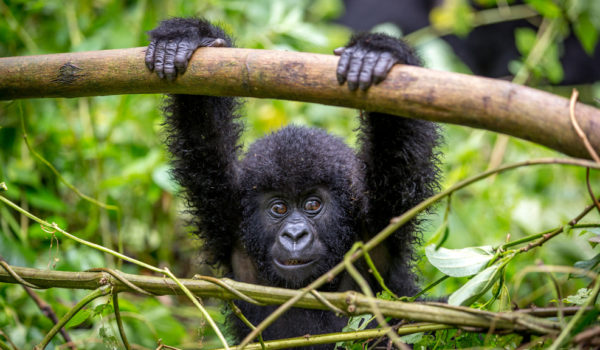 Choosing a Tour Company for Gorilla Trekking in Uganda or Rwanda