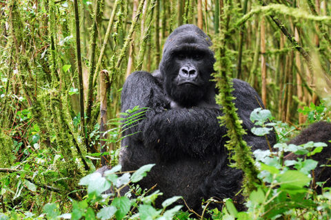 How to Check Availability of Rwanda Gorilla Permits & Book Online