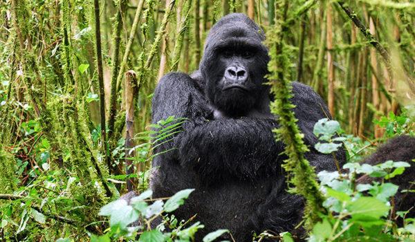 check Rwanda gorilla permits online