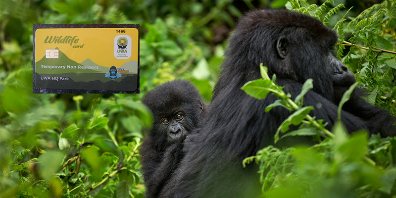 How to Get a Free Gorilla Permit in Uganda or Rwanda