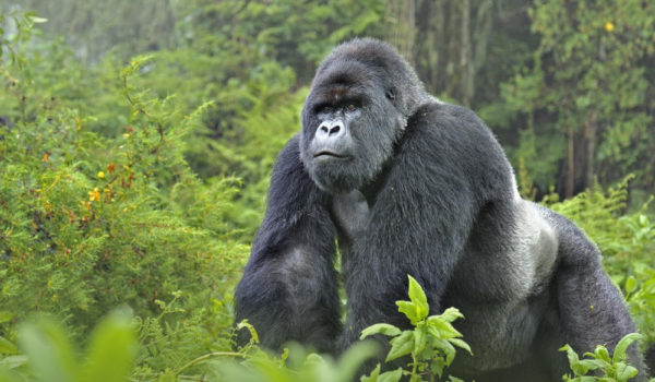 Is Gorilla Trekking Ethical