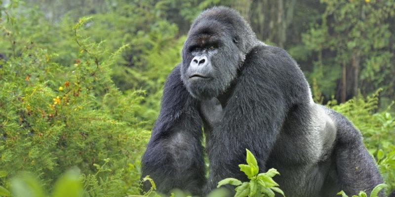 Is Gorilla Trekking Ethical