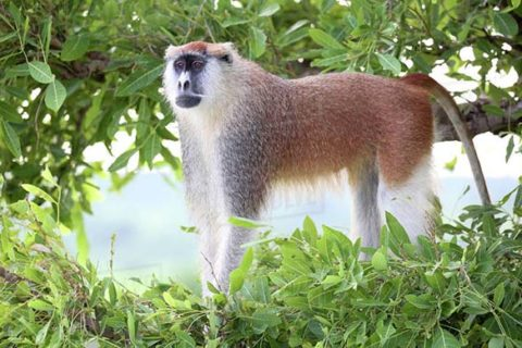 Patas Monkeys in Uganda