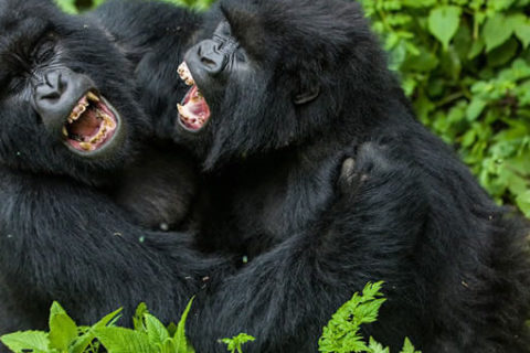 Uganda Gorilla Trekking Video (Watch Now)