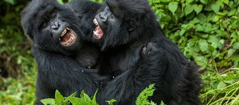 Uganda Gorilla Trekking Video