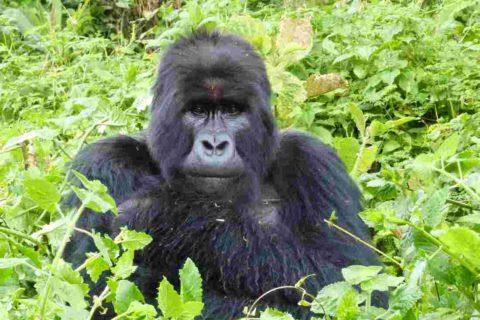 Why Mountain Gorillas Were Going Extinct
