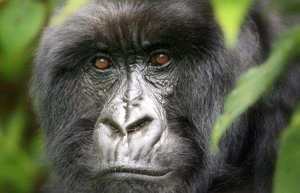 Why Can't you Make Eye Contact with a Gorilla